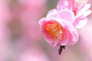 梅の花 一輪