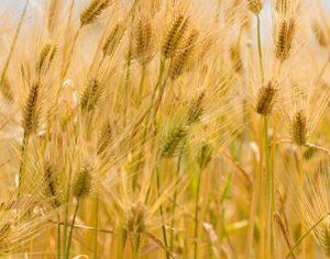大麦の稲穂