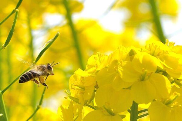 マヌカハニーとハチ